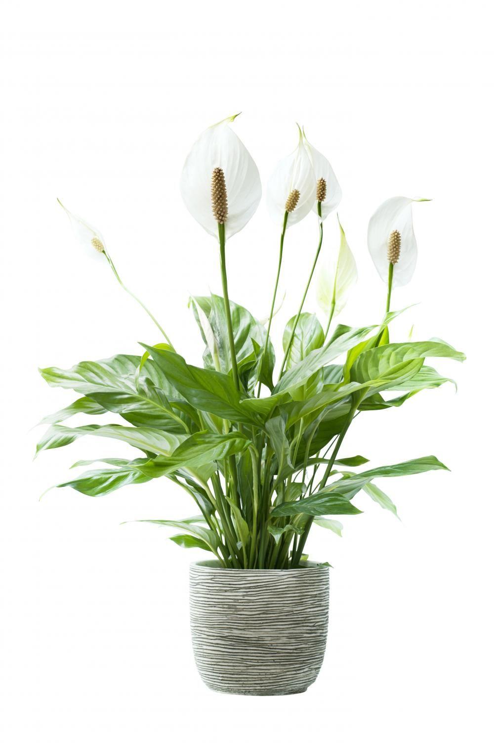 11 Zimmerpflanzen für dunkle Ecken | FLORI | Zimmerpflanzen ...