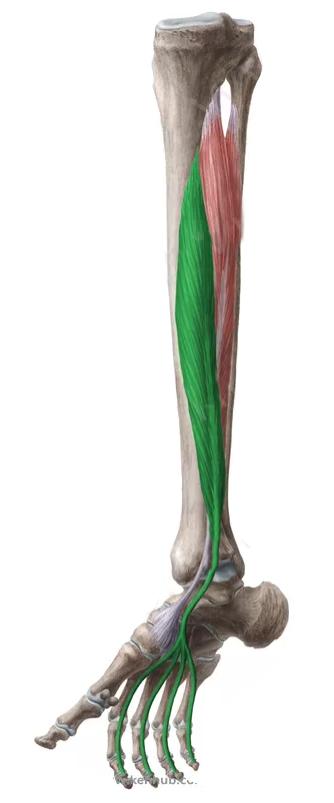 Vista 2 Flexor común de los dedos del pie | Anatomía | Pinterest ...