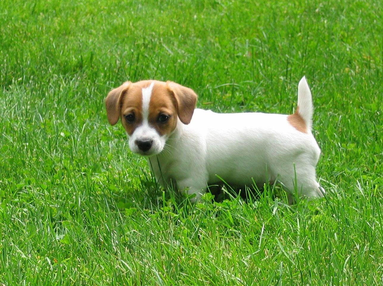 Jack russel Terrier Welpe kaut an seinem Spielzeug