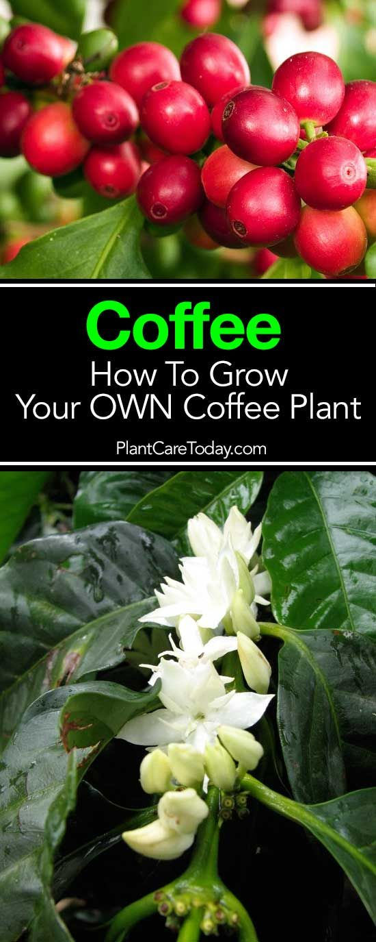 Coffee Plant Care: Growing A Coffee Tree Indoors and Out
