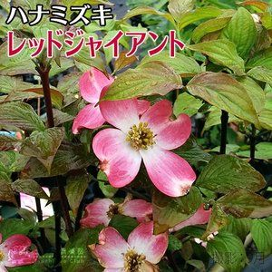 Photo of ハナミズキ 花の商品一覧 通販