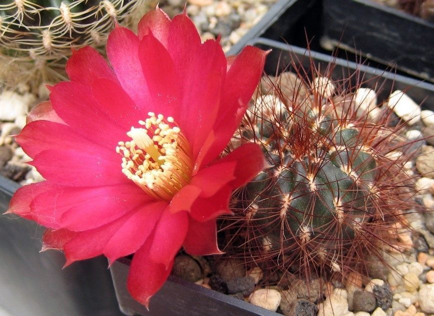 Sulcorebutia tiraquensis small cactus with red pink flowers sulcorebutia tiraquensis small cactus with red pink flowers colorful spines cacti flower and seeds mightylinksfo Images