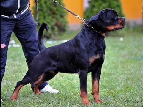 American Rottweiler Vs German Rottweiler Vs Serbian Rottweiler I