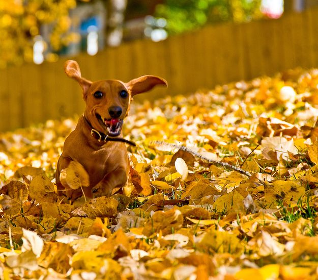 42 Pictures Of Dogs Playing In Leaves Pet Photo Contest Dog