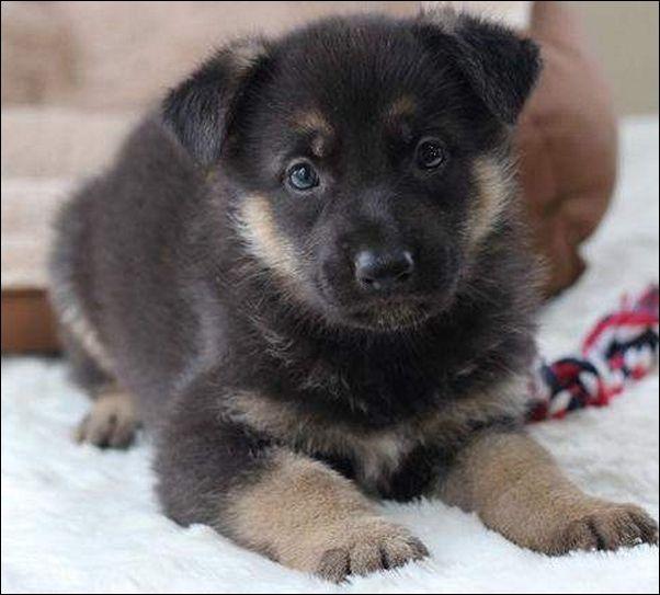Black Cute Fluffy Puppies