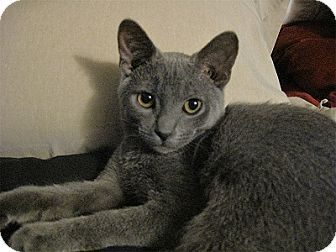 Woodland Hills Ca Russian Blue Meet Kwala A Kitten For Adoption Kitten Adoption Pets Russian Blue