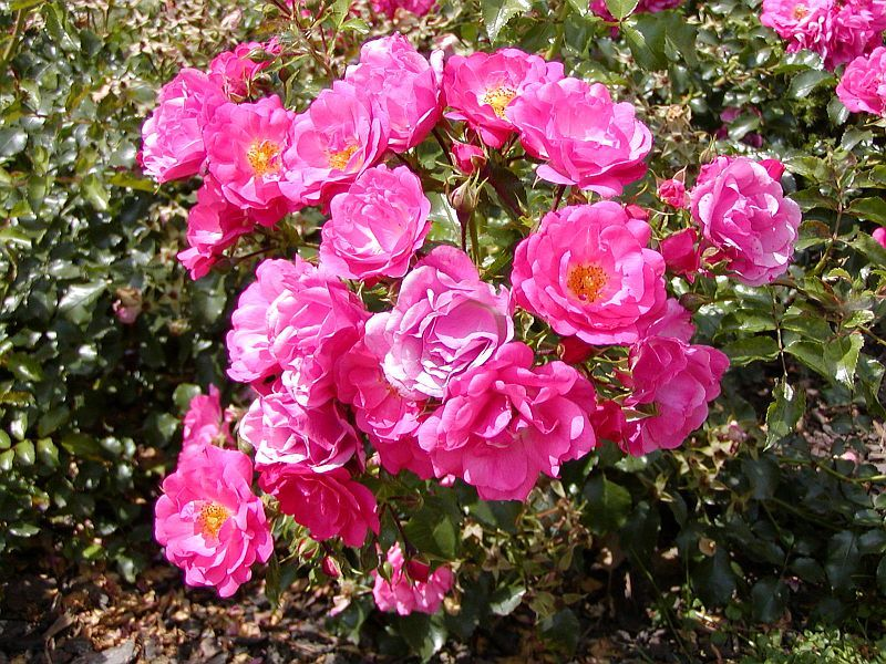 rosa heidetraum rose what i want in my garden pinterest roses. Black Bedroom Furniture Sets. Home Design Ideas