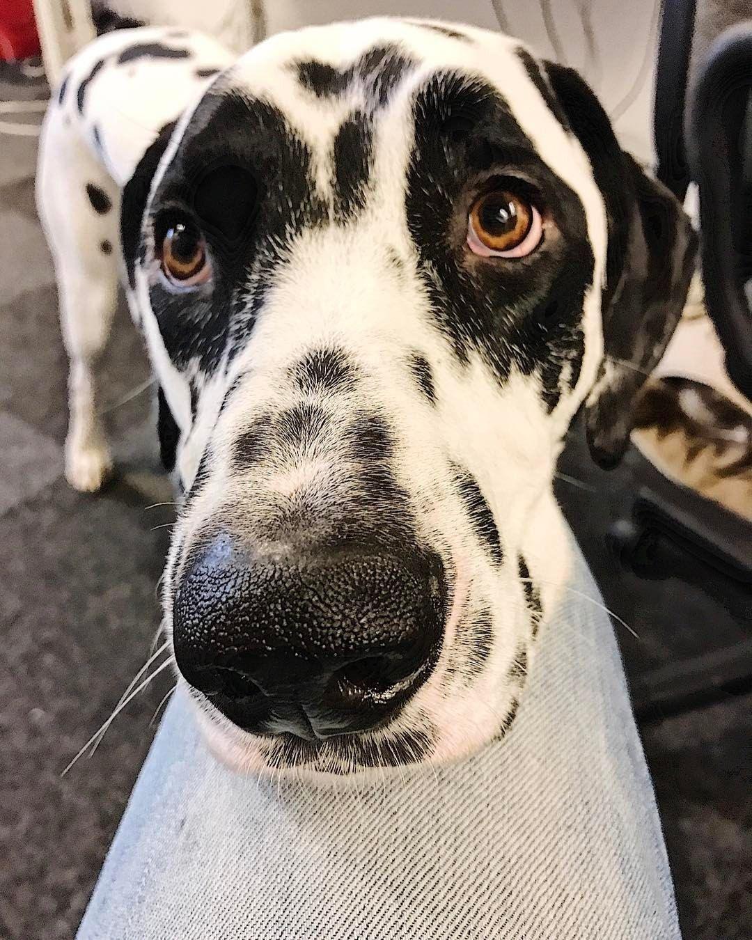 いいね!247件、コメント6件 ― Dalmatian Maxxさん(@dalmatianmaxx)のInstagramアカウント: 「How do you get attention from your boss? Watch this position and look! ⠀ ⠀ #sunglassdog…」