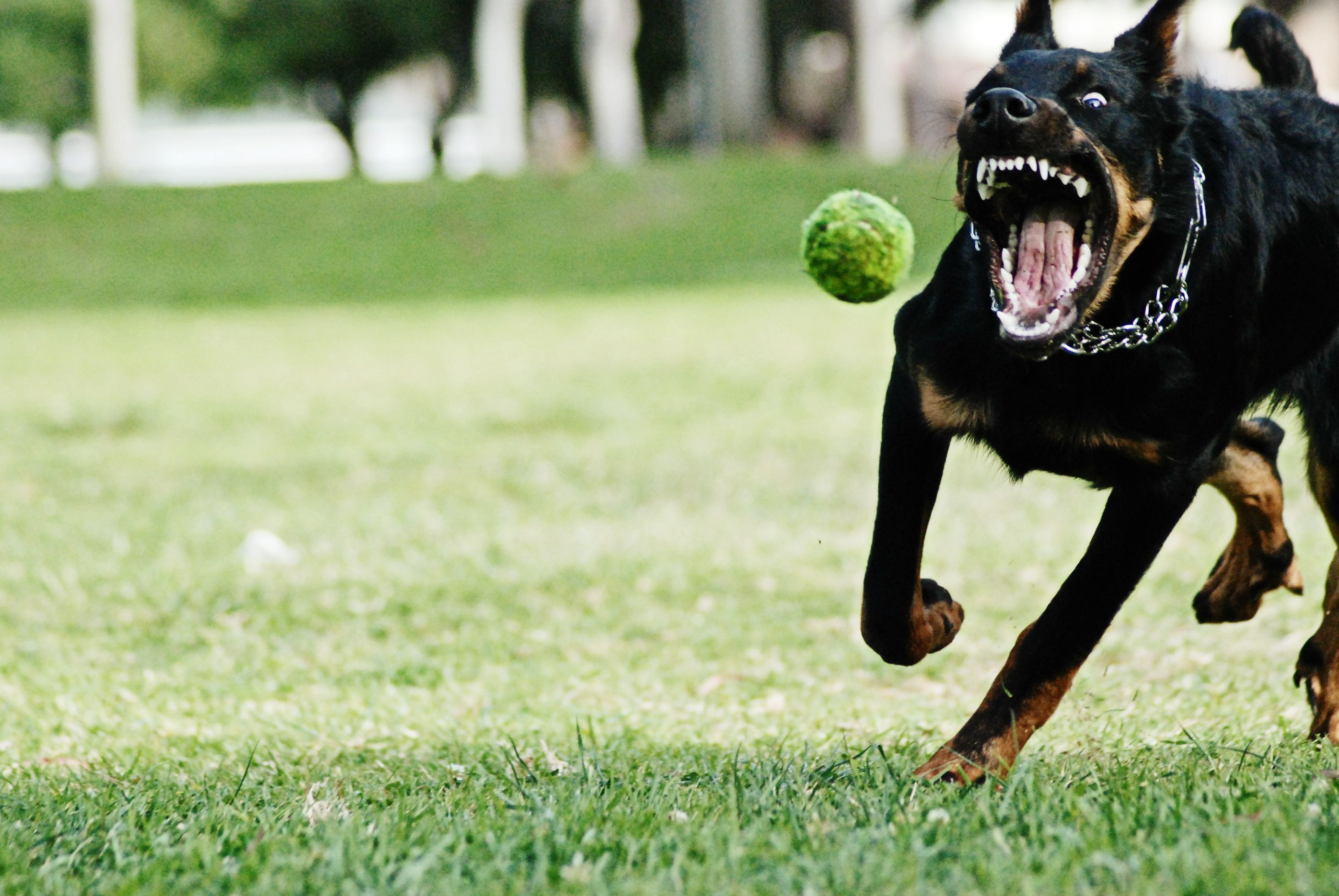My Beauceron Puppy Chasing His Ball Dogs Guard Dog Breeds
