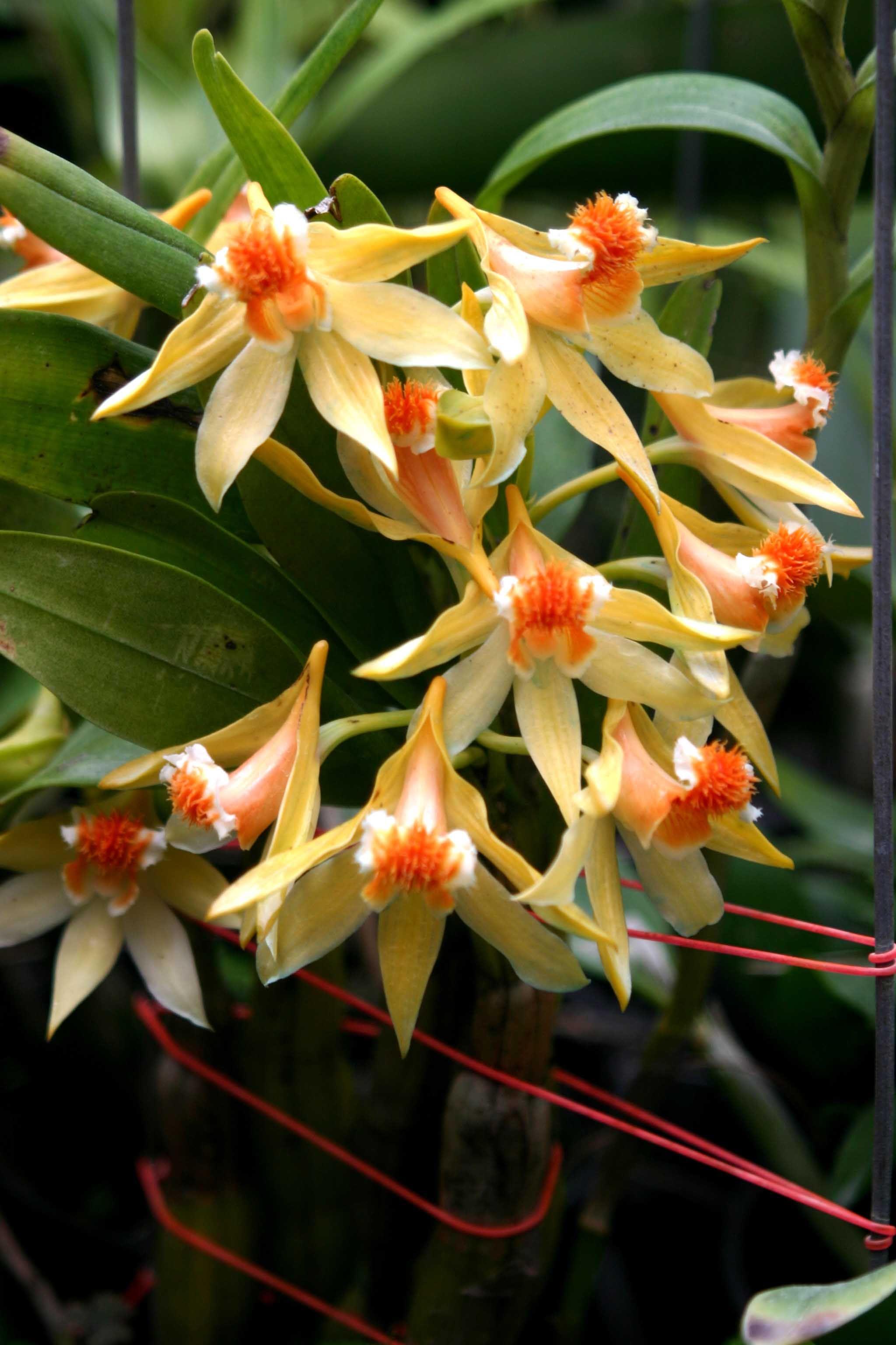 Williamsonus dendrobium orchid orchid pinterest orchids