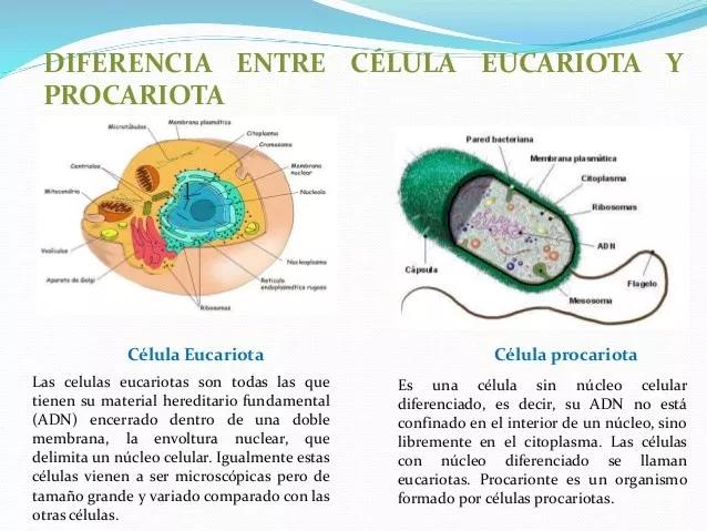 Cuáles Son Las Diferencias Entre La Célula Procariota Y Eucariota Búsqueda De Google Celula Eucariota Celula Procariota Y Eucariota Procariota Y Eucariota