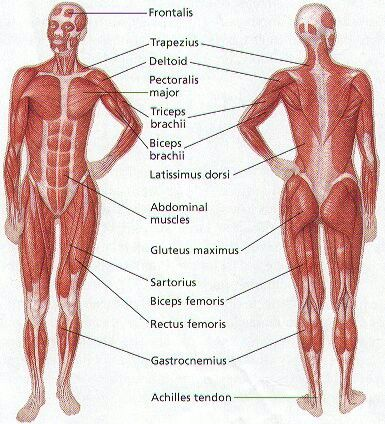 Fit Structure Art Reference Bones And Muscle Structure