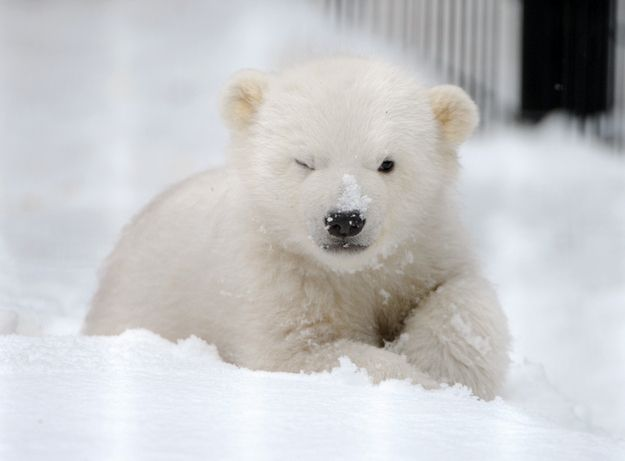 A polar bear who isn't sure how she feels about snow yet.