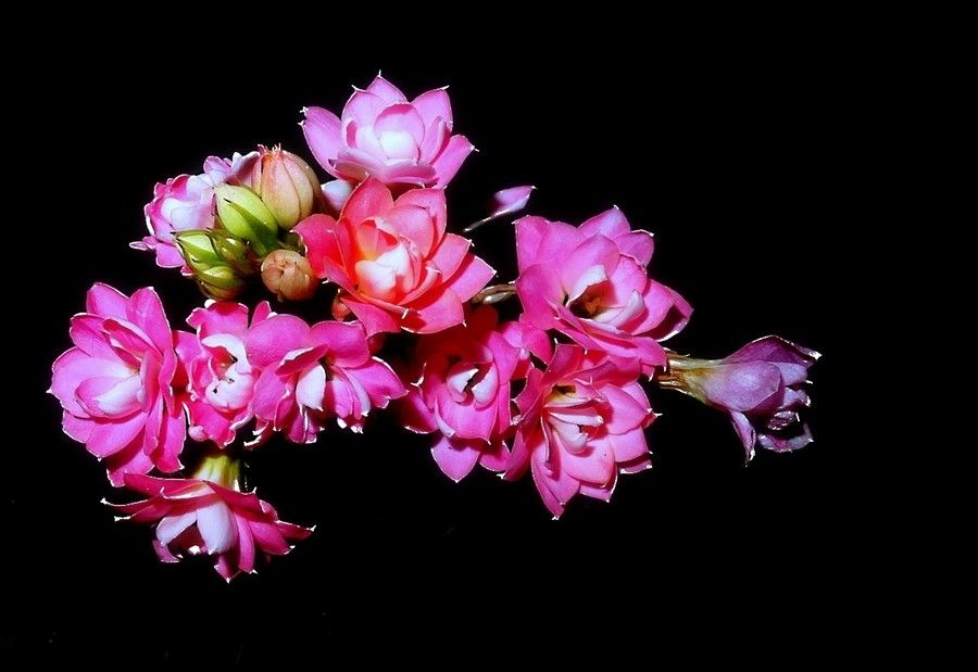 Kalanchoe by Nazia di on 500px