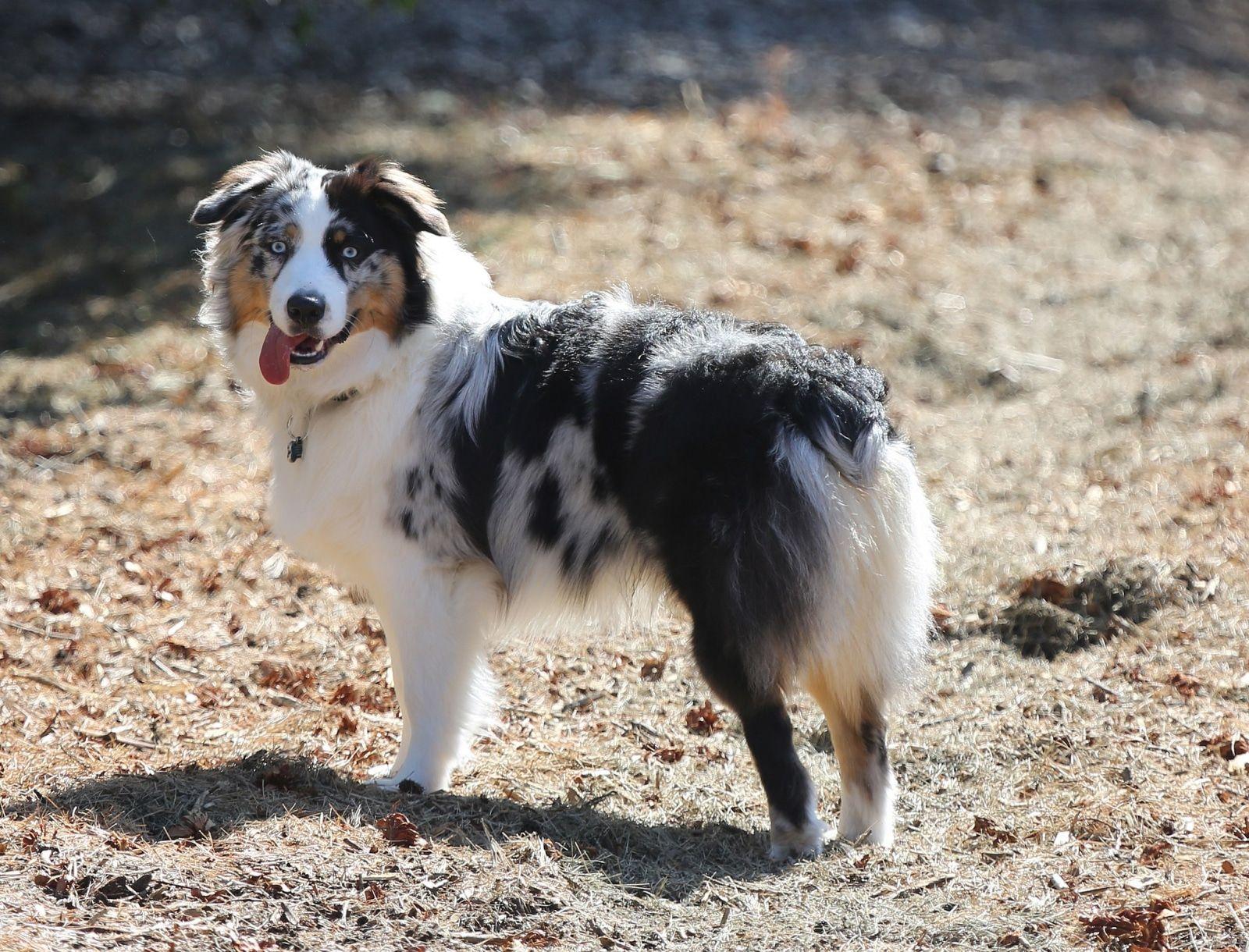 King Size Bett Staudenbeet Ideen Kokosol Gegen Sonnenbrand Australian Shepherds Hunde Und Hunde Fotos
