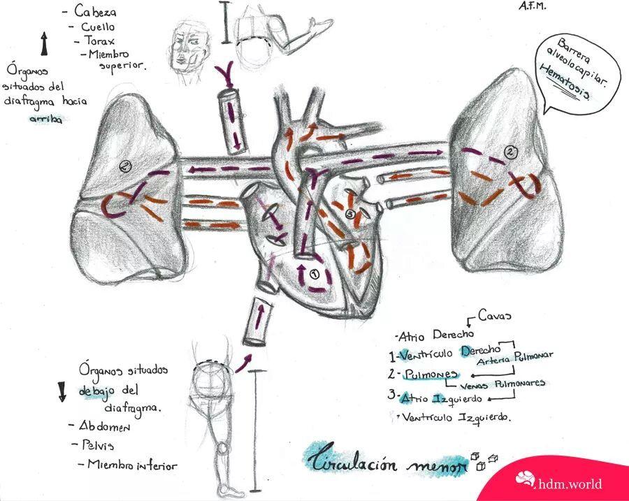 Circulacion Menor Ii Circulacion Menor Anatomia Y Fisiologia Anatomia