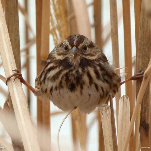 Song sparrow in a  rough position