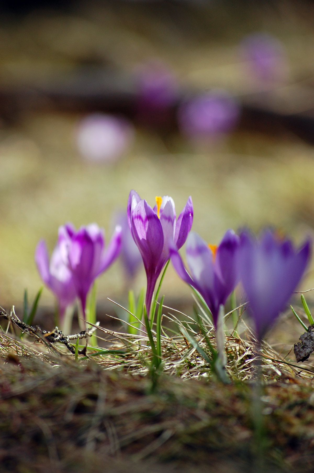 Spring is here Crocus Abruzzo Picture places, Wild