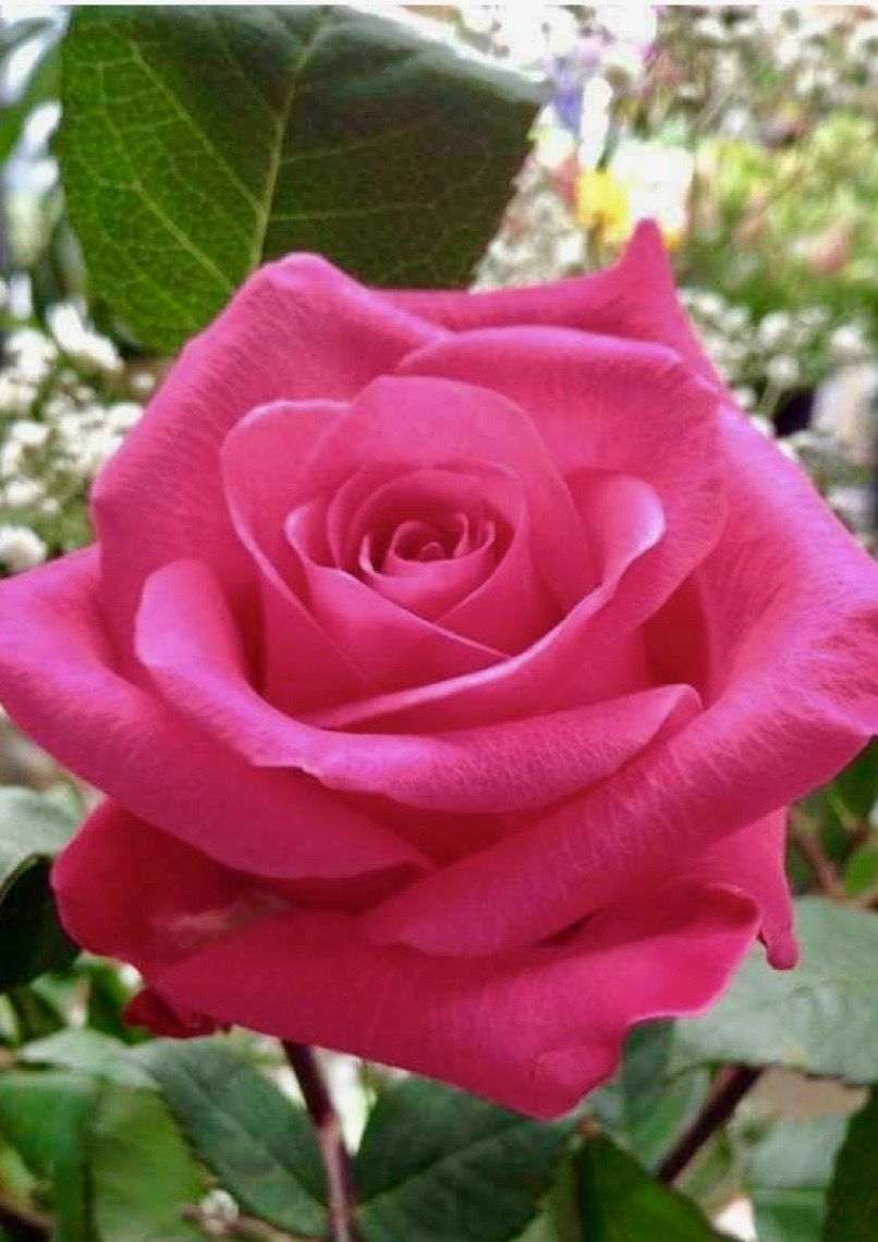 Beautiful Pink Rose Beautiful Flowers Pinterest Beautiful