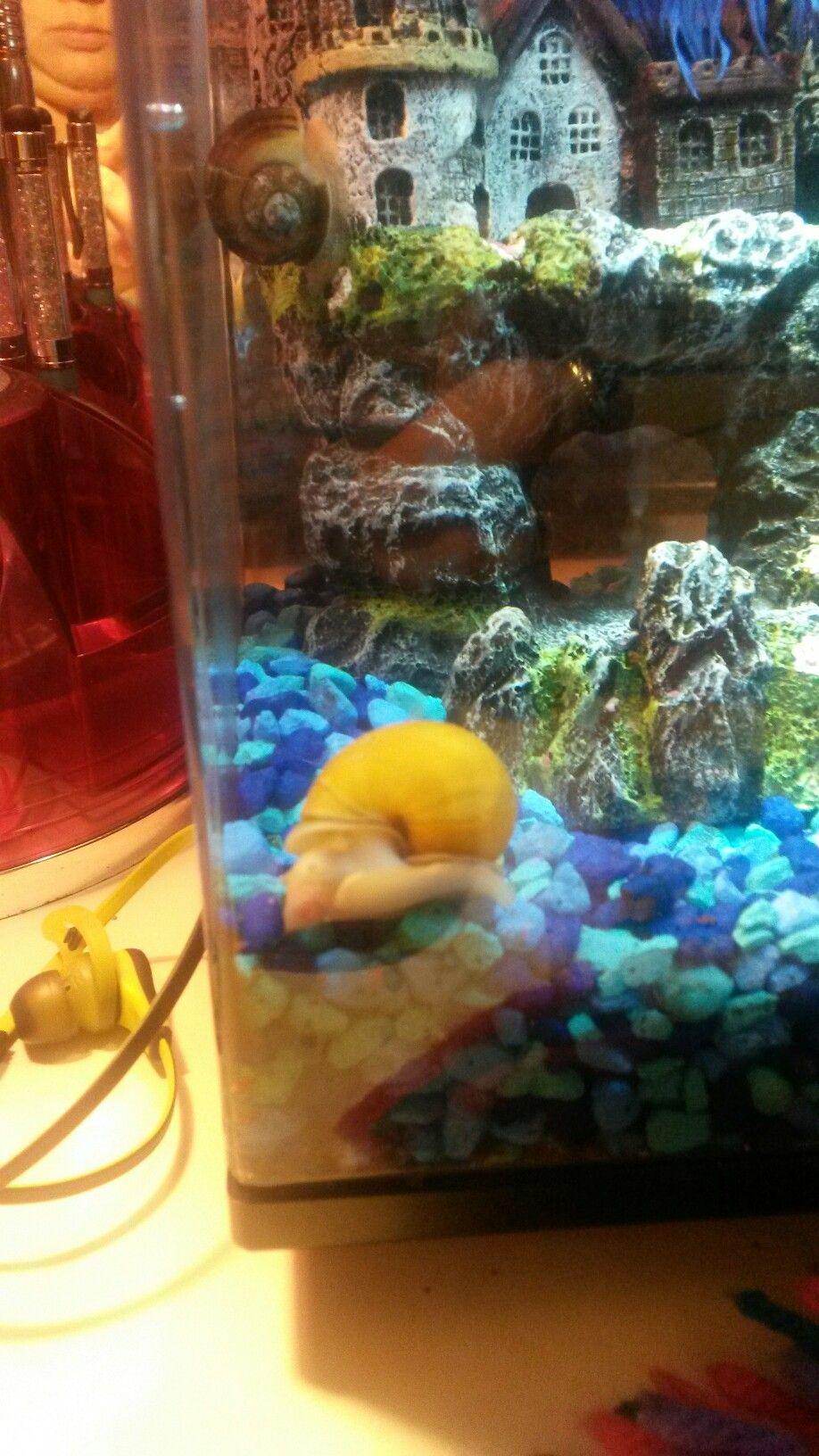 Freshwater aquarium fish jacksonville fl - Golden Mystery Snail Snailsaquarium Fish