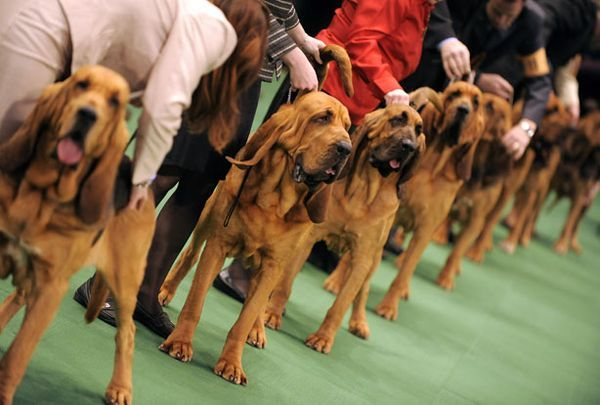 Image result for dog shows