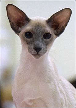 National Siamese Cat Club Siamese Cats Blue Point Oriental Shorthair Cats Siamese Cats