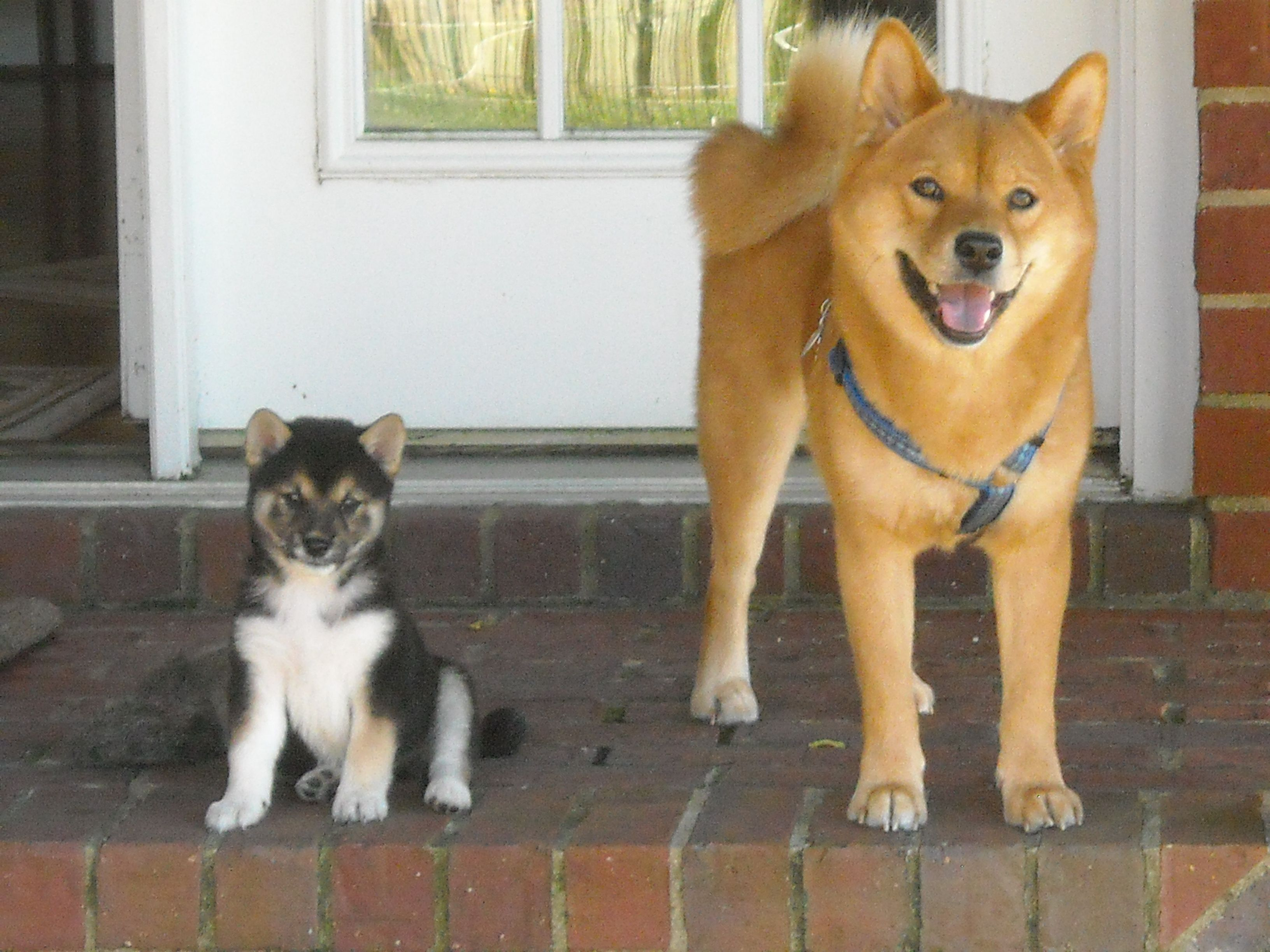 Black and Tan Shiba Inu puppy named Romeo and his older friend, Payton, a red Shiba.