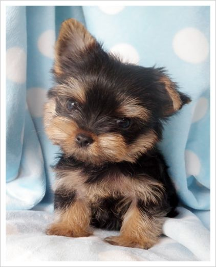 Tiny Teacup Yorkie Puppies For Sale Cheap : teacup, yorkie, puppies, cheap, Teacup, Yorkie, Puppies,, Puppy,