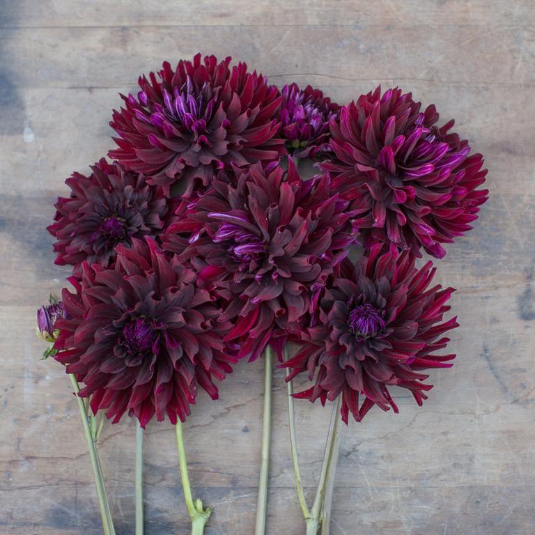Dahlia Hollyhill Black Beauty 2019 Garden Plan Dahlia Growing Dahlias Flower Seeds