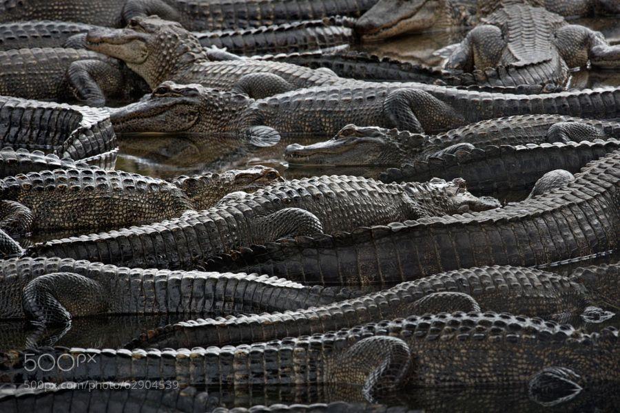 American Alligators by matthewstudebaker