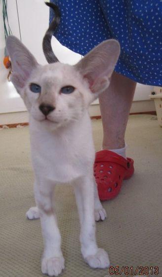 Myytavana Itamainen Lyhytkarva Kissanpentu Available Fi Miado Baranor House Of Beor D O B 11 10 2013 Sys N 03 21 Oriental Cat Cat Call Cattery