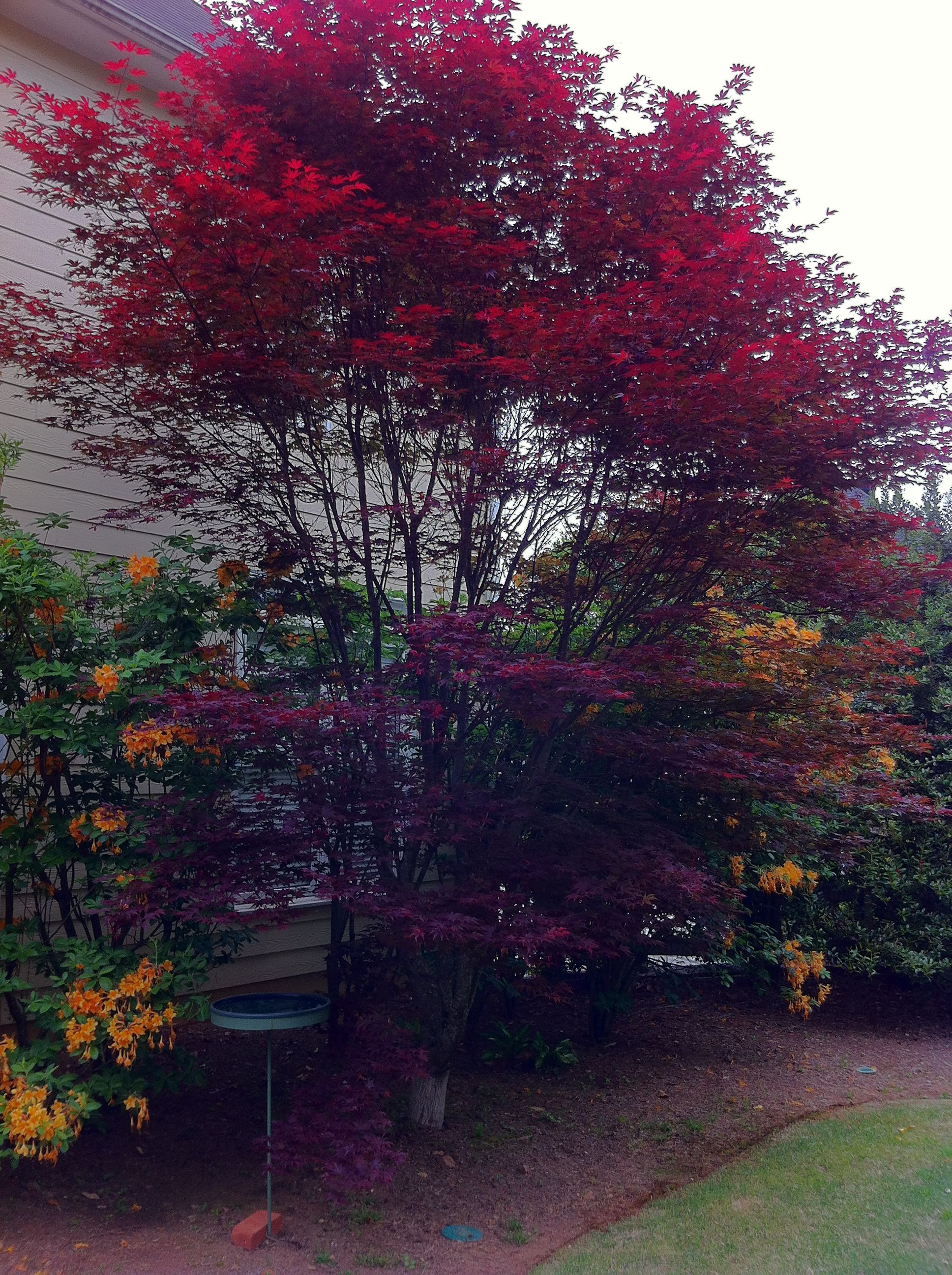 Bloodgood Japanese Maple With Native Azaleas Japanese Garden Lush Garden Sky Garden