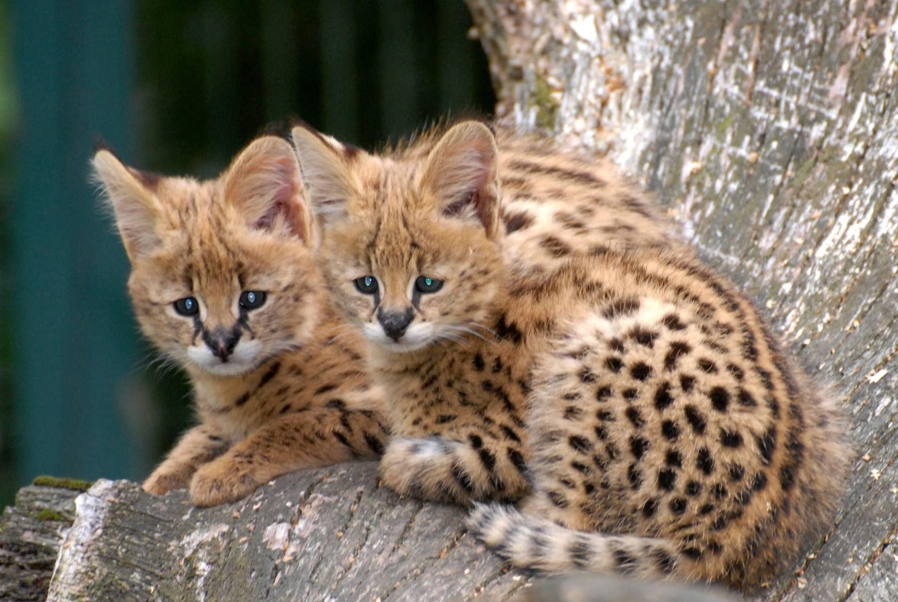 Inbreeding In Big Cats