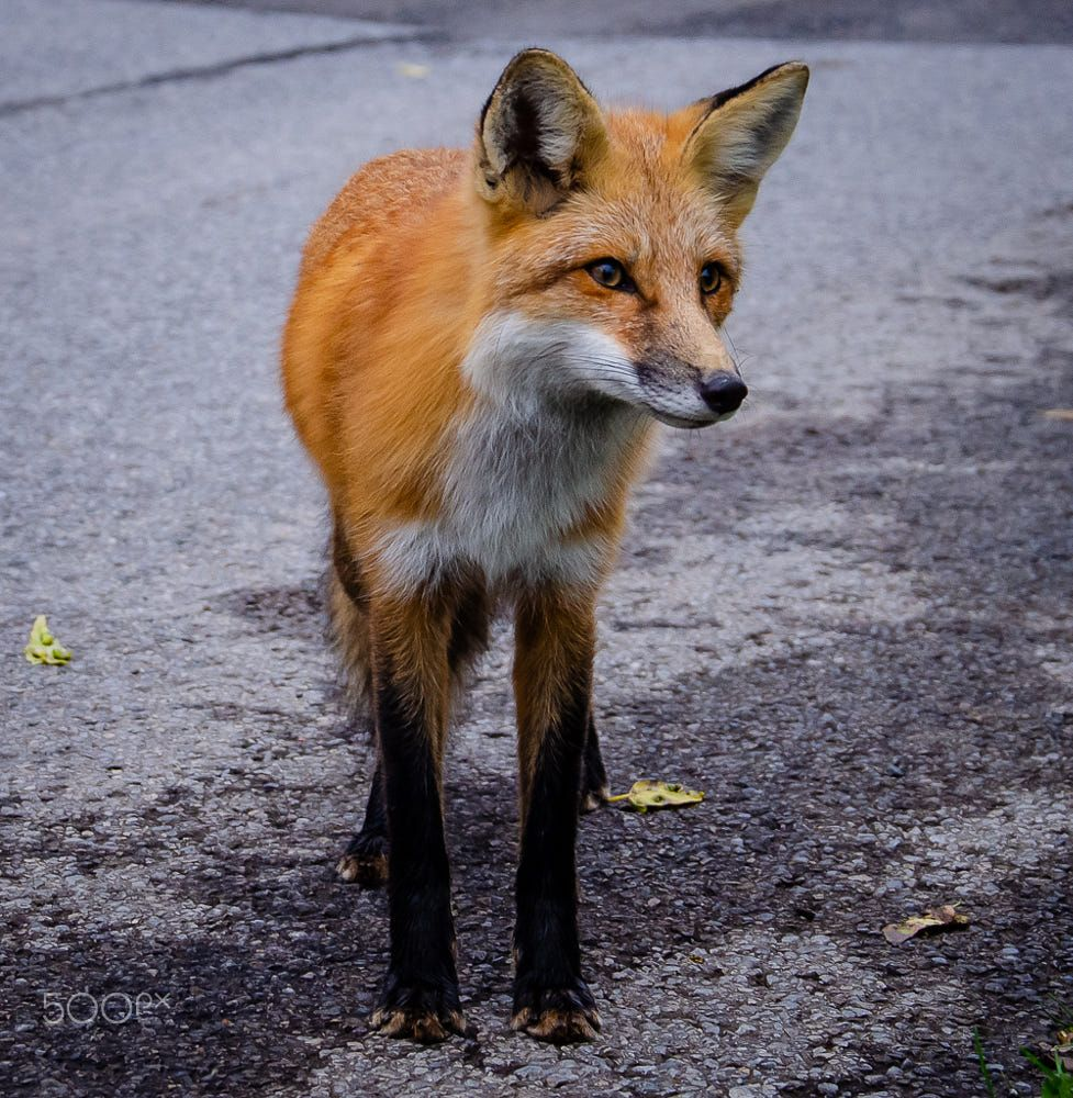 Red Fox By Vicente Sampaio On 500px