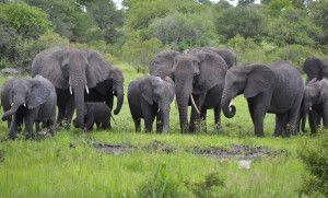 A proposal would allow countries to sell stockpiles of ivory collected from elephants that died of natural causes. Previous sales have been shown to increase the number of African elephants killed illegally. Demand that the proposal be rejected.