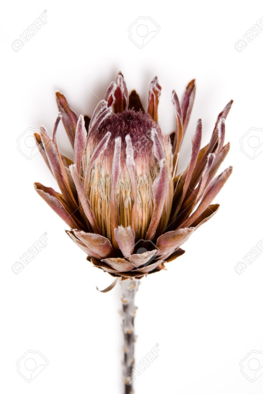 16552555 Dried Protea Flower Stock Photo Protea Jpg 866 1300 Protea Flower King Protea Stock Flower
