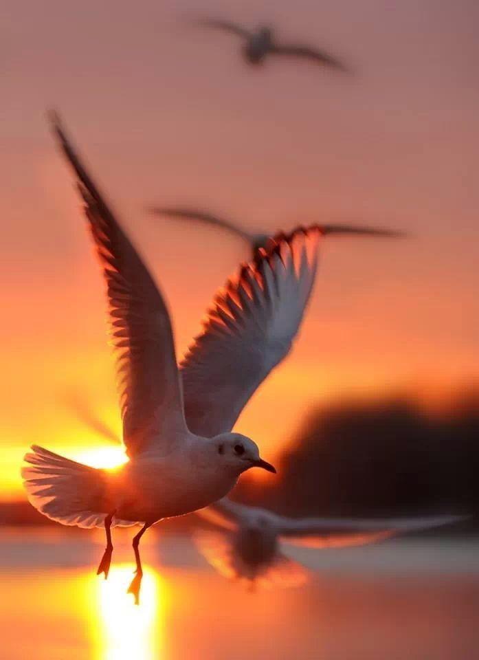 Colomba | Sunrise, Nature, Birds in flight