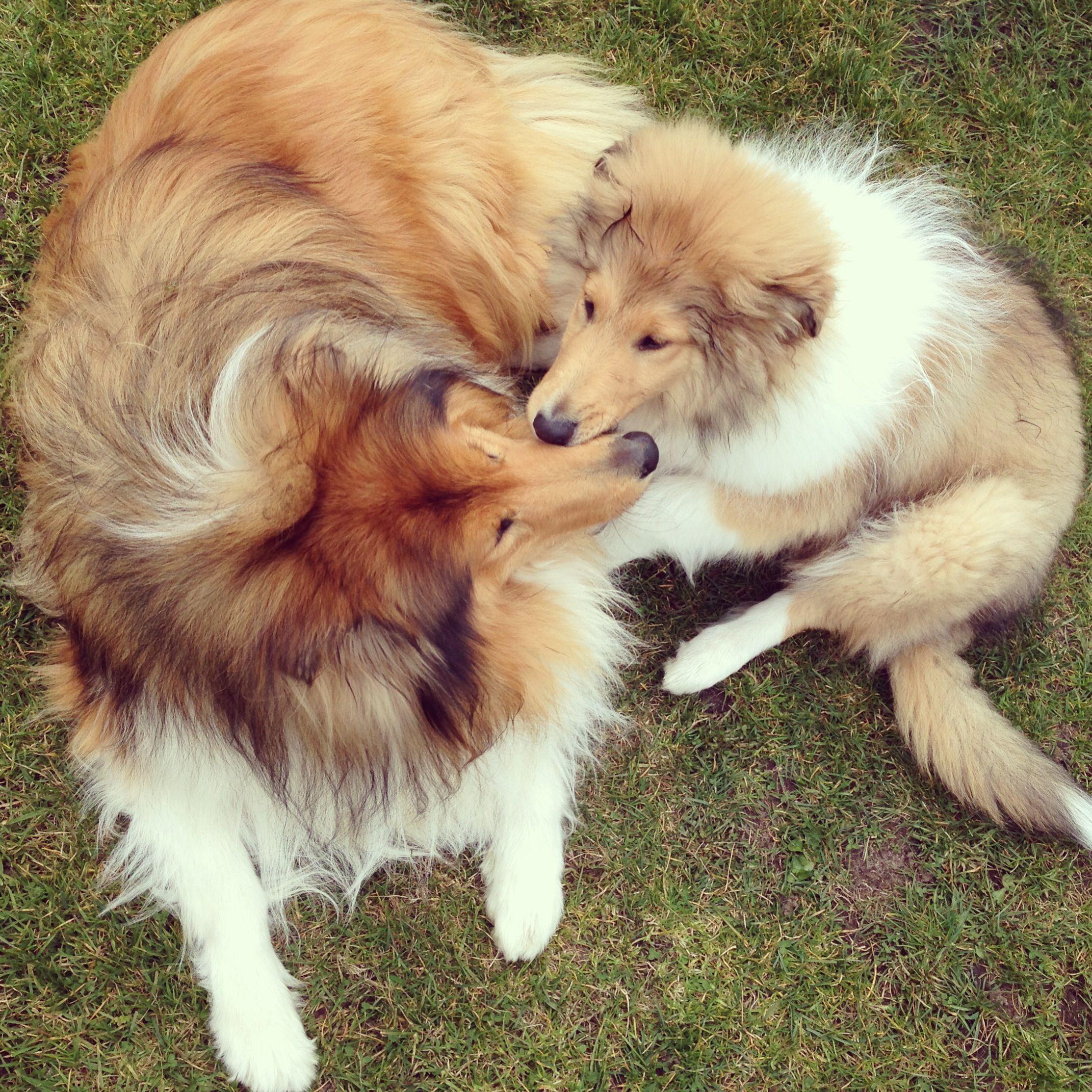 Loooove puppy roughcollie cute
