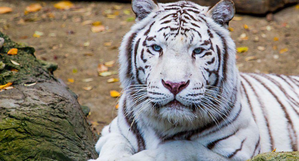 Tigre Blanco De Bengala Mascotas Imagenes De Tigres Tigres