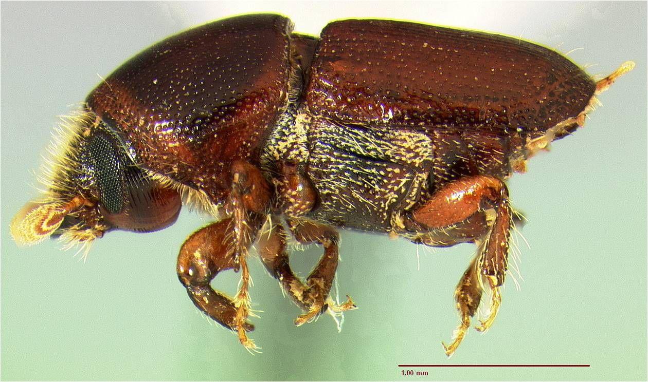 les scolytes sont de petits insectes xylophages de l 39 ordre des col opt res ils constituent une. Black Bedroom Furniture Sets. Home Design Ideas