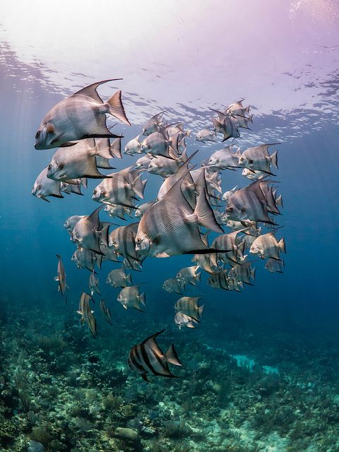 School of Atlantic spadefish at Utila, Honduras by Simon Pierce Photography