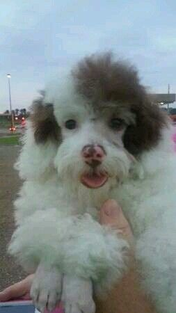 Scary Little Clown Poodle Poodle Puppy Baby Puppies Poodle