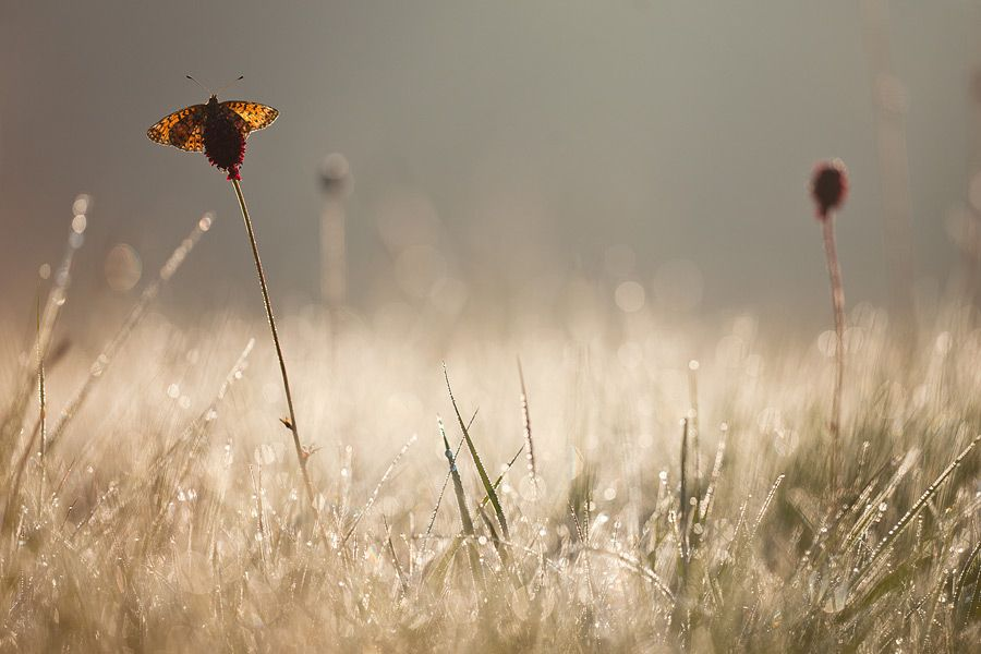 """Pearl-bordered fritillary"" by Johannes Klapwijk"