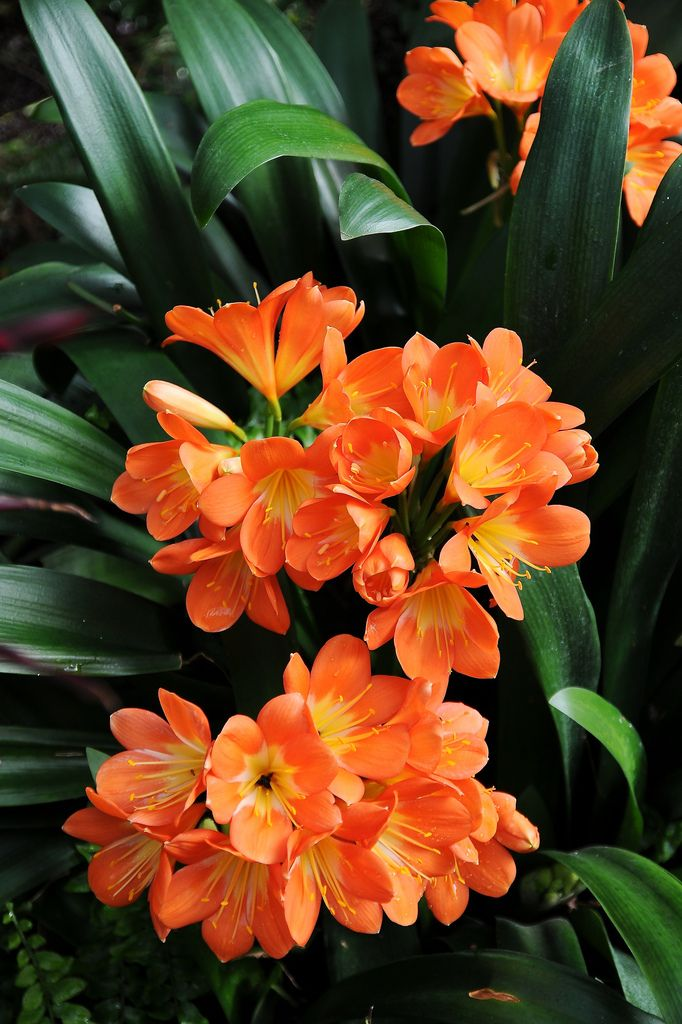 Latin Name Clivia; Common Name Amaryllis family