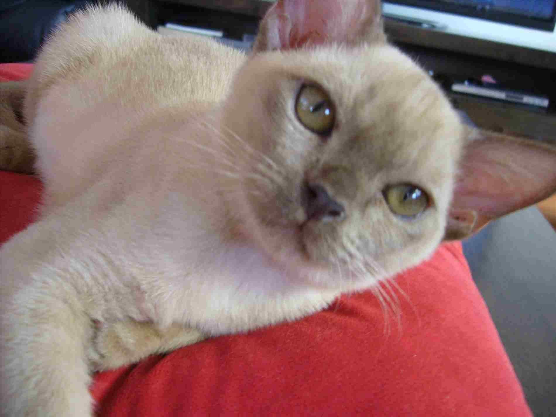 Oriental Cat Perth Big Oscar Home Suite Home Cat Boarding