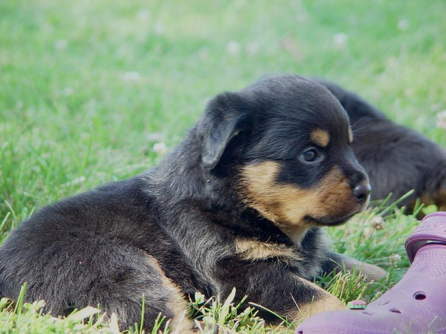 rottweiler puppies for sale in wv Zoe Fans Blog
