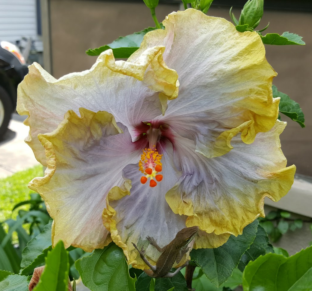 Creole Lady Hibiscus This Is What It Looks Like When The Flower