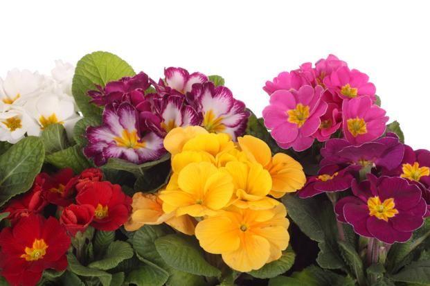 Kwiaty Doniczkowe Prymulki Jak Dbac O Prymule W Domu Plants