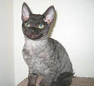 Aaaaaadwt Template Devon Rex Cats Cat Breeds Rex Cat