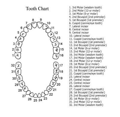 MEXICO DENTAL COSTS - https\/\/sitesgoogle\/site - baby teeth chart
